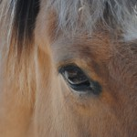Schau mir ins Gesicht: Neue Schmerzskala für Pferde