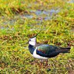 Todesstille über Wiesen und Feldern <br> Auch die A 20 beschleunigt das Vogelsterben